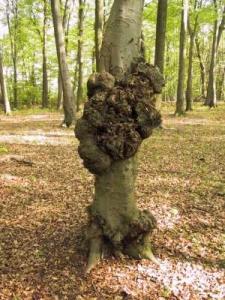 Wasseradern selber finden: Baumwucherungen sind ein typischer Hinweis auf Wasseradern oder Erdstrahlen anderer Art Photo: http://www.edelsteinschule.de