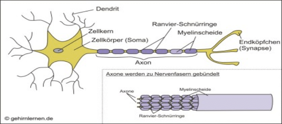 Modell von einem Nerv mit Schnürringen