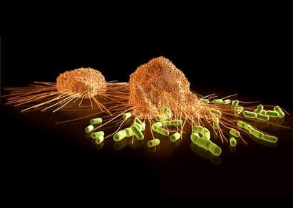 Streptokokken auf der Flucht vor gefräßigen Makrophagen, die diese zu umschließen trachten, um sie in sich aufzunehmen ( Phagozytose ).